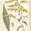 Image of early goldenrod