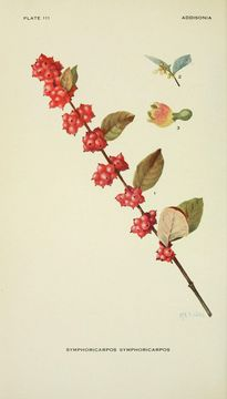 Image of Chenault coralberry