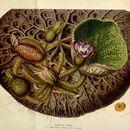 Image of Foxnut