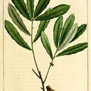 Image of Runner Oak
