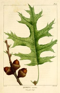 Image of Scarlet Oak
