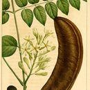 Image of Kentucky Coffee Tree