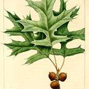 Image of Pin Oak