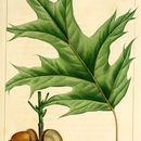 Image of <i>Quercus rubra</i> L.