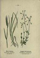 Image of <i>Hordeum murinum</i> L.