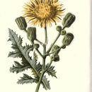 Image of field sowthistle