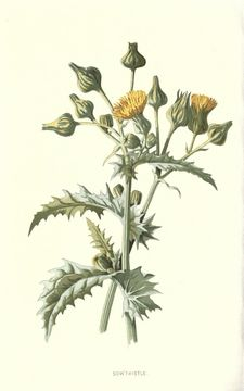 Image of common sowthistle