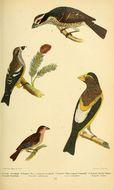 Image of Pheucticus Reichenbach 1850