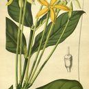Image of <i>Oxyanthus tubiflorus</i> (Andrews) DC.
