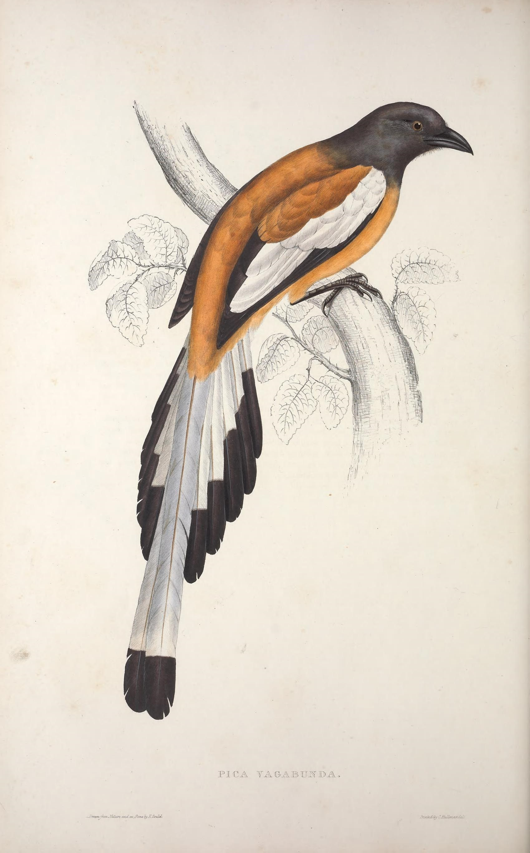 Image of Dendrocitta Gould 1833