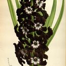 Image of Dutch Hyacinth