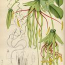 Image of <i>Cobaea penduliflora</i> (Karsten) Hooker