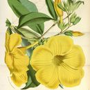 Image of Golden Trumpet Vine