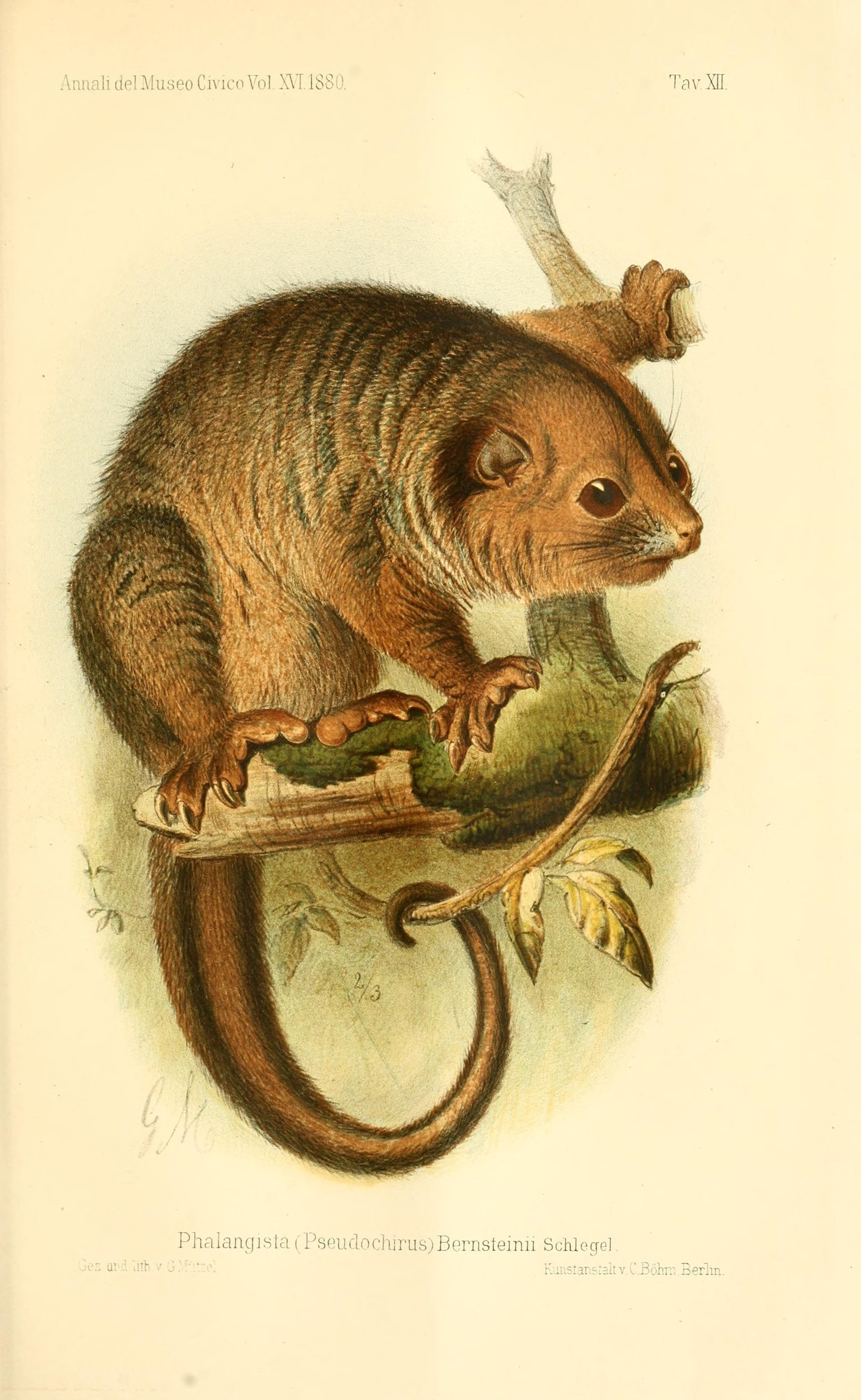Image of green ringtail