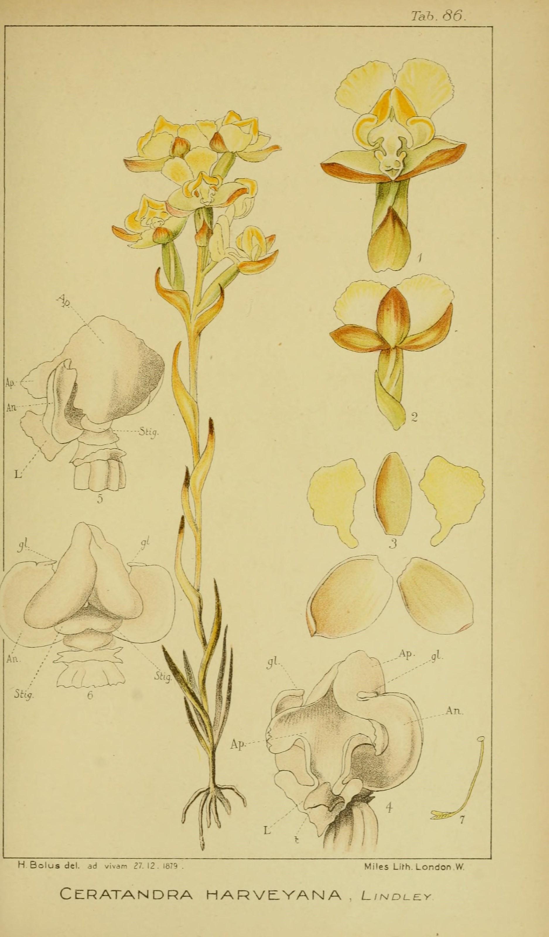 Image of <i>Ceratandra harveyana</i> Lindl.