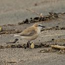 Image of White-fronted Plover