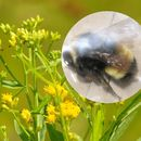 Image of Yellowbanded bumble bee