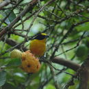 Image of Thick-billed Euphonia