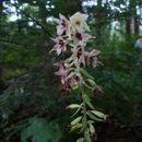Image of <i>Verbascum blattaria</i>
