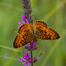 Image of Silver-bordered Fritillary