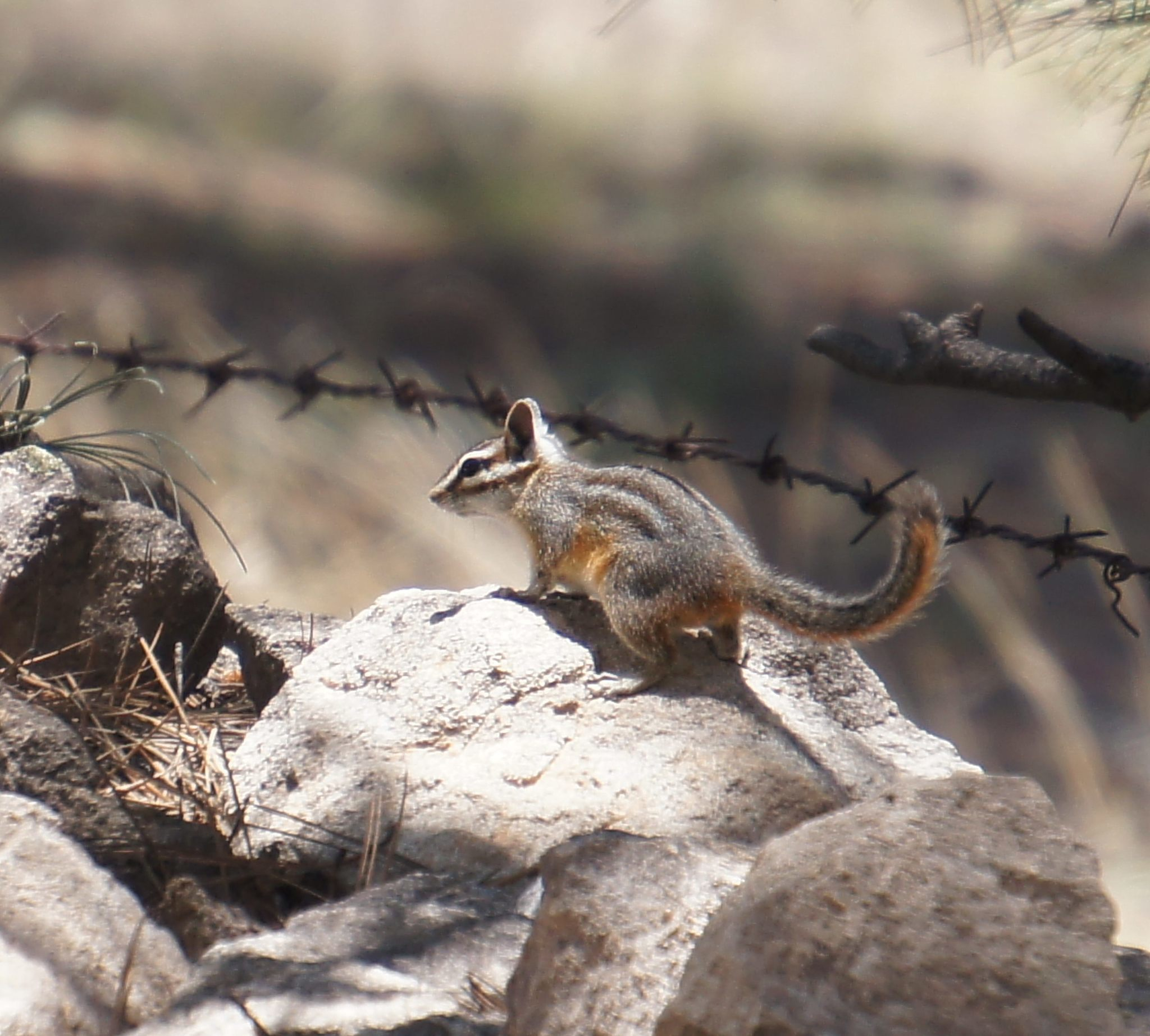 Image of Cliff Chipmunk