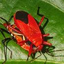 Image of <i>Antilochus coquebertii</i>