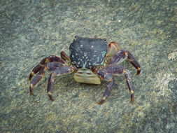 Image of striped shore crab
