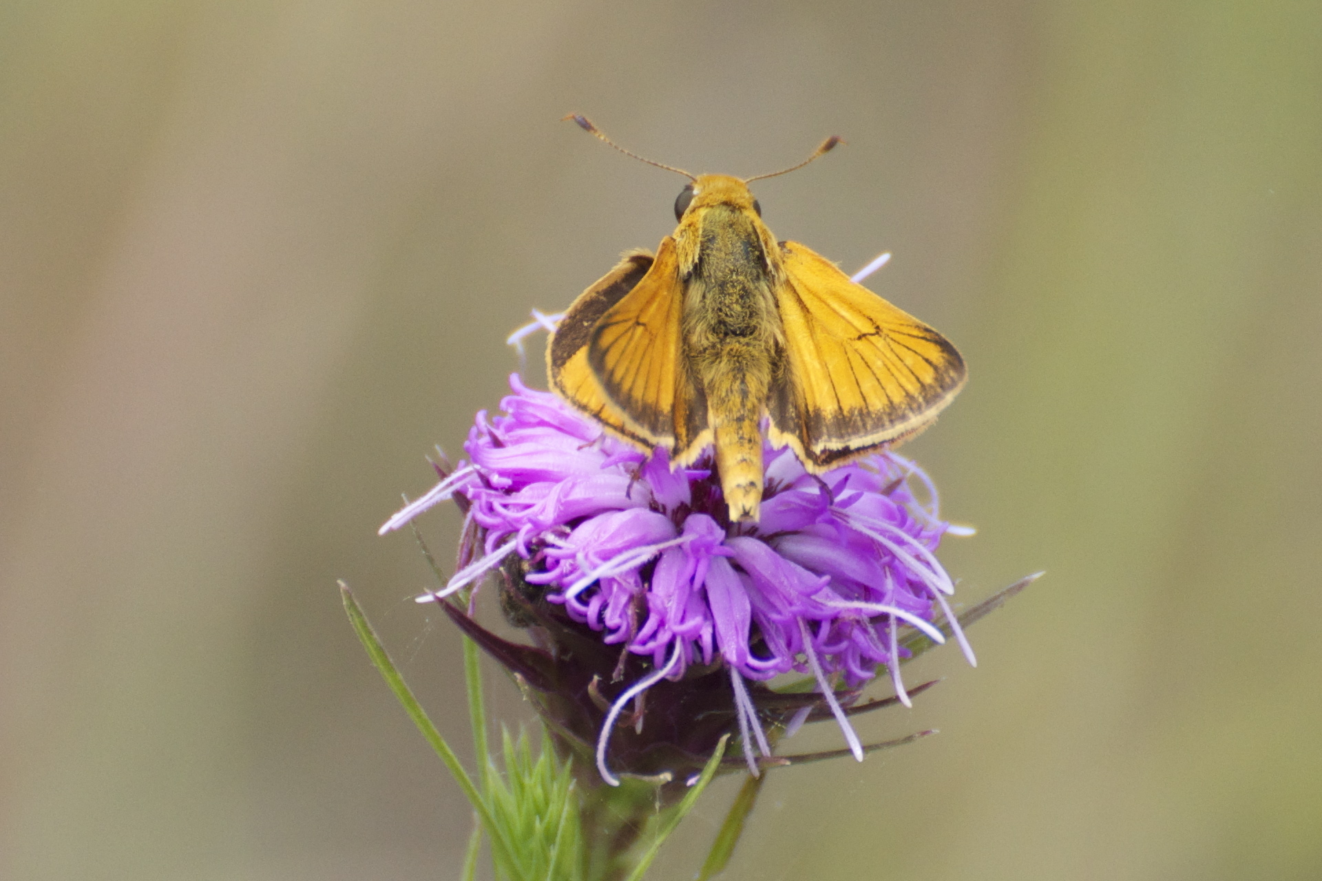 Image of Delaware Skipper