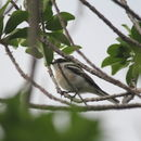 Image of cuckoo-shrikes