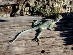 Image of Eastern Collared Lizard