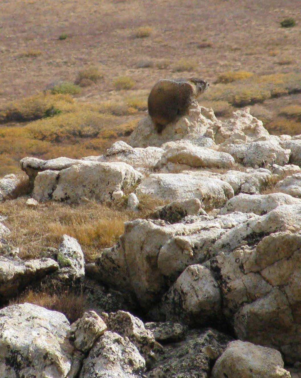 Image of Yellow-bellied Marmot
