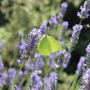 Image of common brimstone