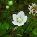Image of <i>Parnassia palustris</i>