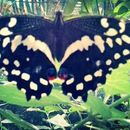 Image of Citrus swallowtail