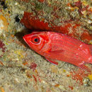 Image of Blue Lined Squirrelfish
