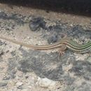 Image of Six-lined Racerunner