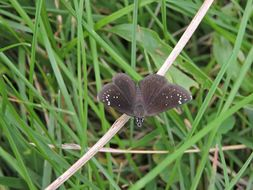 Image of Common Sootywing
