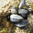 Image of Common mussel