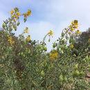 Image of <i>Peritoma arborea</i>