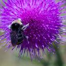 Image of Vosnesensky Bumble Bee