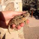 Image of Regal Horned Lizard
