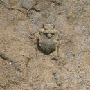 Image of Big-Eyed Toad Bug