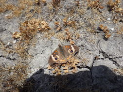 Image of Common buckeye