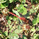 Image of Ruby Meadowhawk
