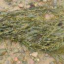 Image of <i>Ascophyllum nodosum</i>