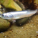 Image of Anchovy