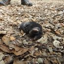 Image of Broad-footed Mole