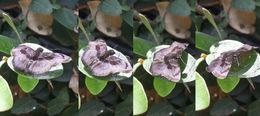 Image of <i>Zera hyacinthinus</i> Mabille 1877
