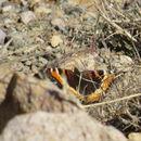 Image of Milbert's Tortoiseshell