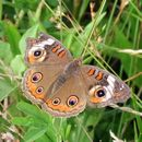 Image of Common buckeye